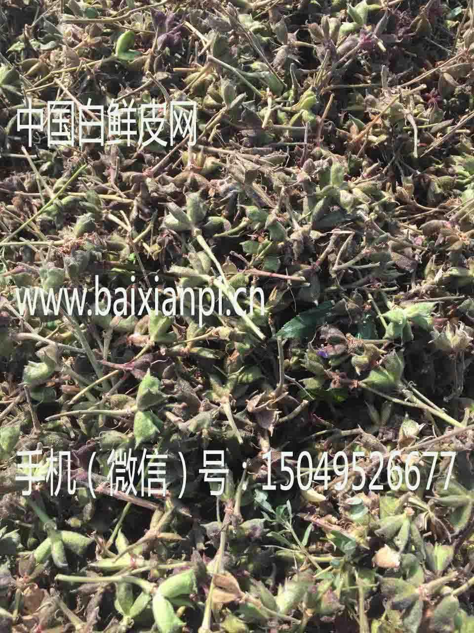 白鲜皮种子晾晒2