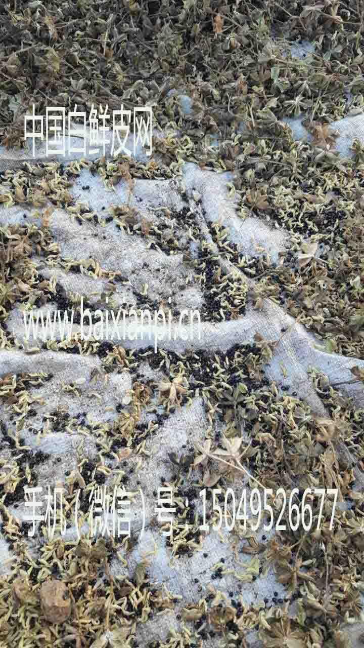 白鲜皮种子晾晒3