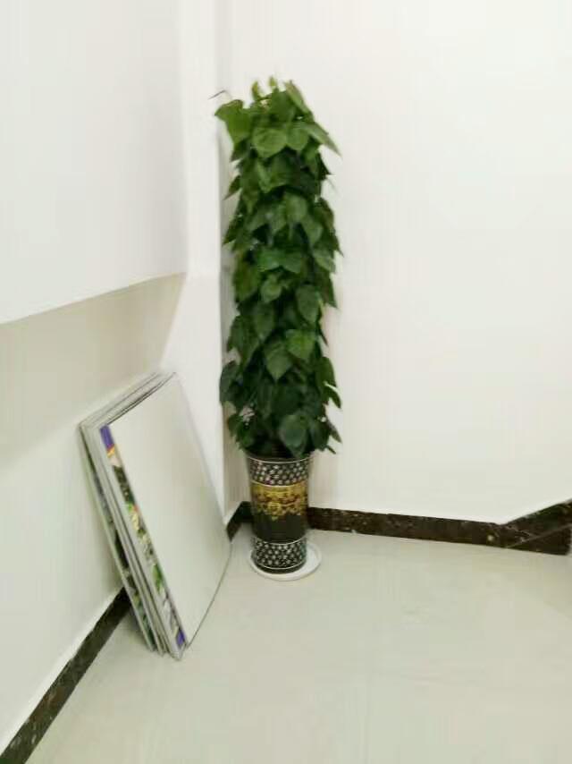 青苹果(心叶藤) 室内客厅大型植物盆景 吸甲醛好