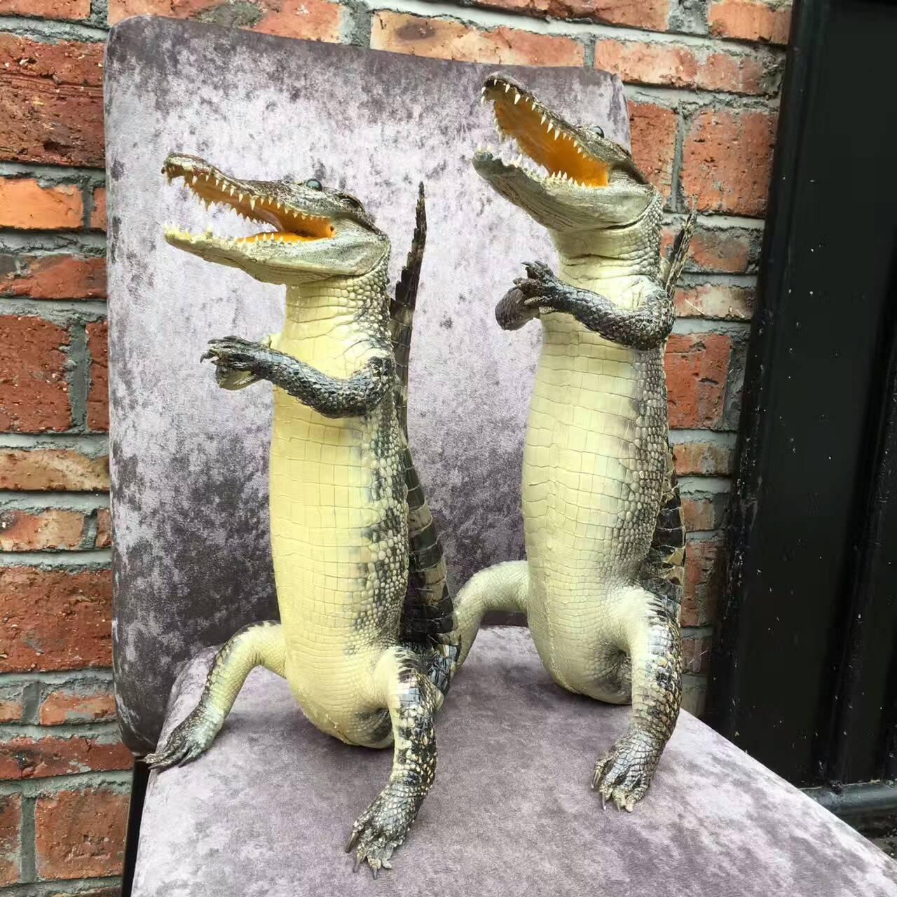 鳄鱼定型标本