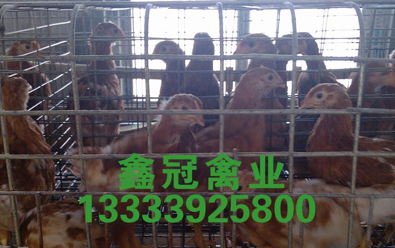 竞博官网鸡厂家|海兰褐竞博官网鸡-鹤壁市鑫冠禽业有限公司