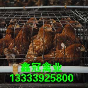 长年供应,预定50-60日龄新利18体育鸡,新利18体育|官方网站褐新利18体育鸡