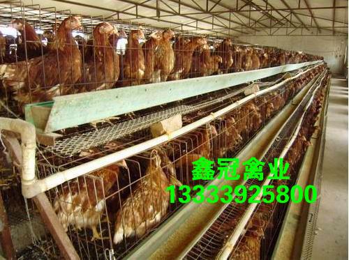 长年供应,预定60日龄新利18体育鸡,新利18体育|官方网站褐新利18体育鸡