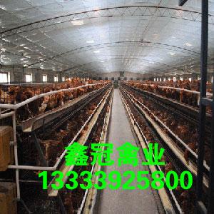 长年供应,预定90-100日龄新利18体育鸡,新利18体育|官方网站褐新利18体育鸡