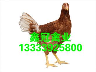 供应新利18体育|官方网站厂家-鹤壁市鑫冠禽业有限公司
