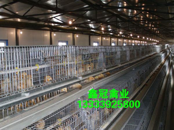 鑫冠禽业-优质新利18体育|官方网站褐新利18体育鸡厂家