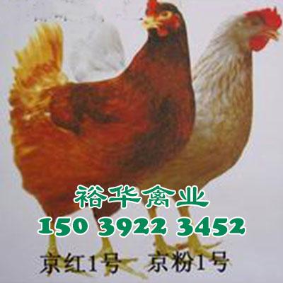 京红青年鸡