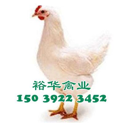 罗曼粉青年鸡